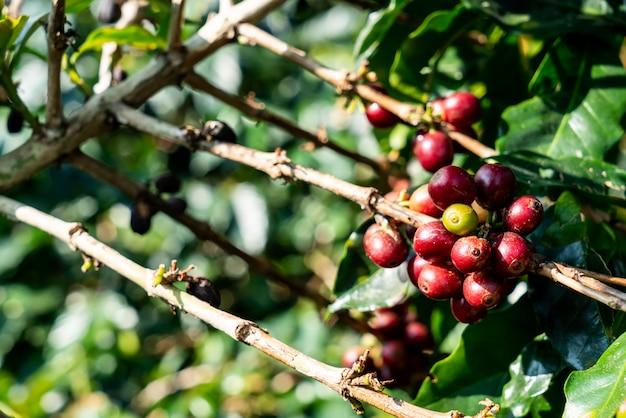 Grains de café frais