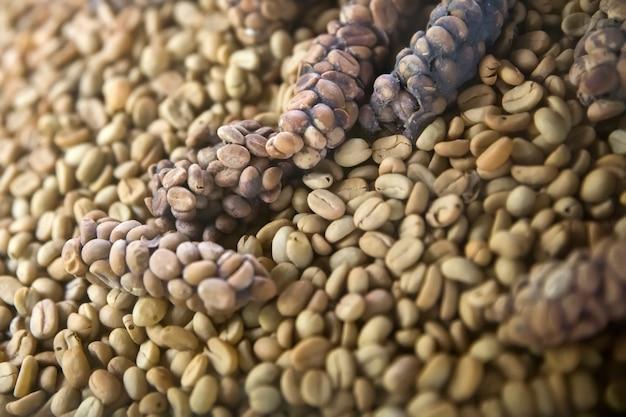 Grains de café kopi luwak crus dans une ferme de café