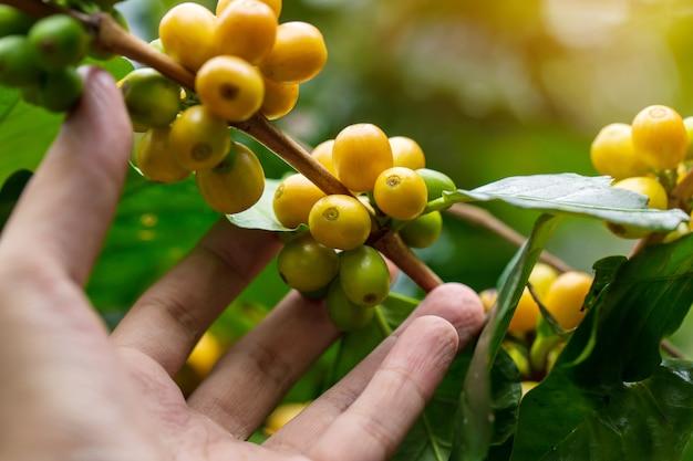 Grains de café mûrissant sur un arbre au nord de la thaïlande