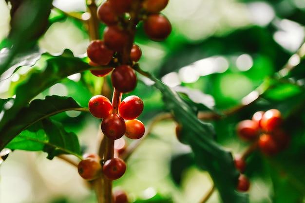 Grains de café mûrissant sur un arbre dans le nord de la thaïlande