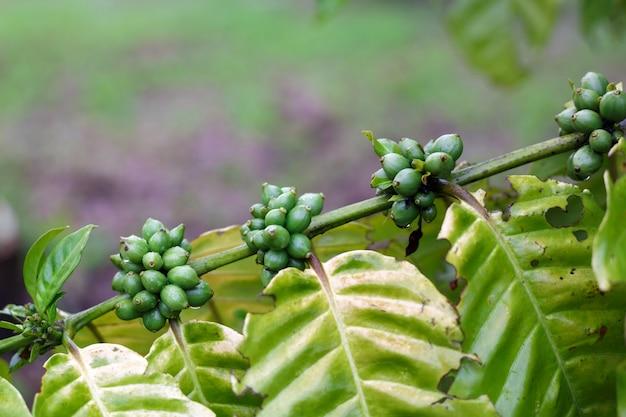 Grains de café mûrissant sur un arbre. robusta