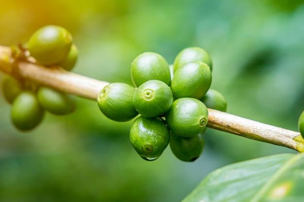 Grains de café mûrs (cerises)