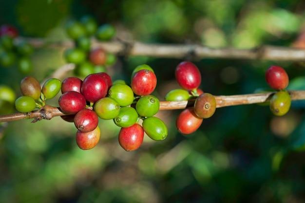Grains de café sur plante