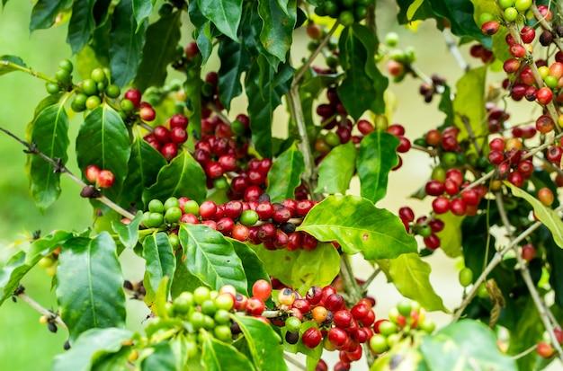 Grains de café qui mûrissent sur un arbre au nord de la thaïlande