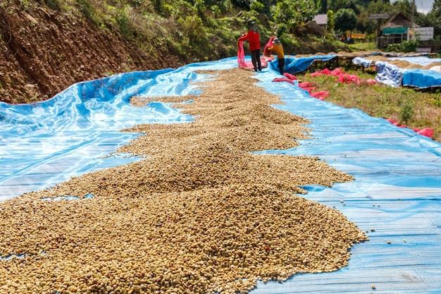 Grains de café séchant sur la plantation et petites personnes travaillant à chiang rai, industrie communautaire dans le nord de la thaïlande