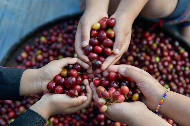 Les grains de café torréfiés sont finis entre les mains de la prochaine génération d'agriculteurs.
