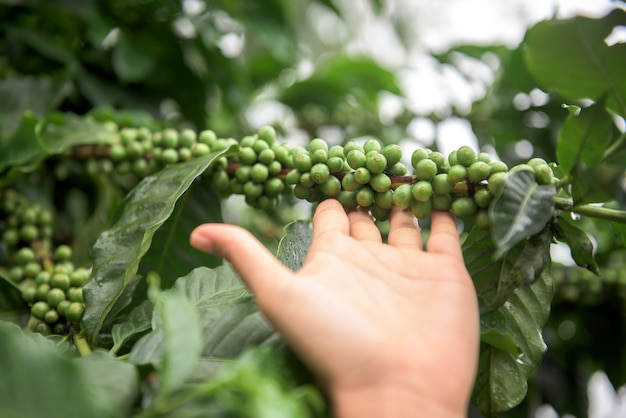 Grains de café vert poussant sur la branche à chiang mai, thaïlande