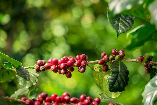 Grains de cerise de café de café cru rouge et mûr bio frais organique sur l'arbre