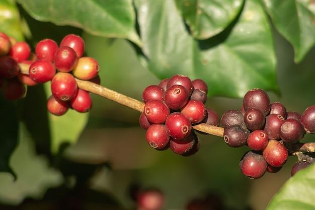 Grains de cerise de café de café rouge cru et mûr bio frais sur l'arbre