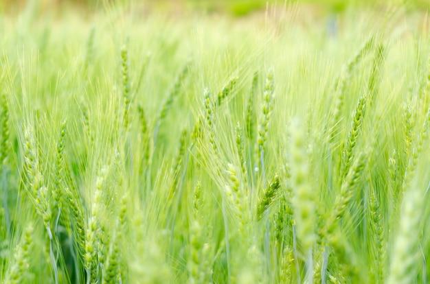 Grains d'orge de couleur verte à la ferme
