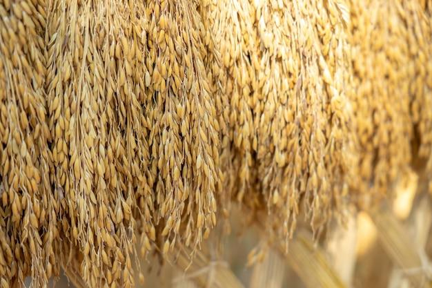 Grains de riz secs en arrière-plan avant d'entrer dans la machine de tri des grains de riz dorés