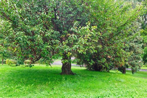 Grand arbre étalé dans le parc d'été