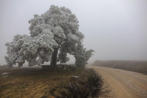 Un grand arbre gelé à côté du chemin un jour de brouillard