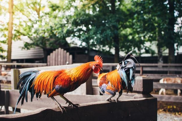Grand beau coq coloré avec une crête rouge sur sa tête assis sur une clôture en bois.