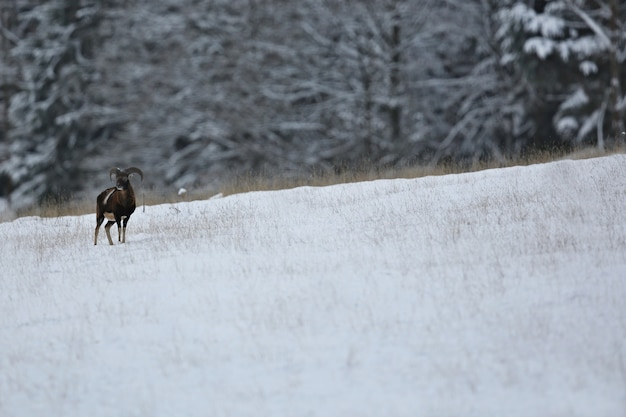 Grand et beau daim dans l'habitat naturel en république tchèque