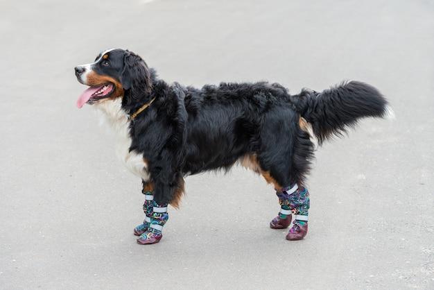 Un grand bouvier bernois se tient par une journée ensoleillée sur l'asphalte gris dans des chaussures spéciales pour chiens