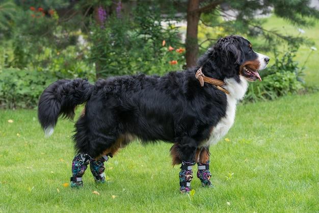 Un grand bouvier bernois se tient par une journée ensoleillée sur une pelouse verte dans des chaussures spéciales pour chiens