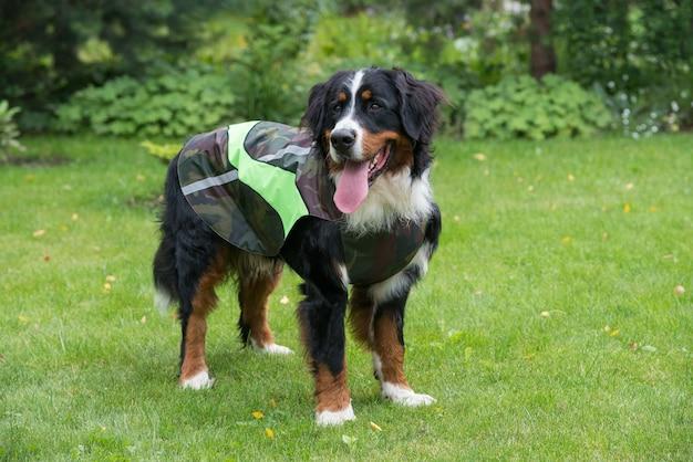 Un grand bouvier bernois se tient par une journée ensoleillée sur une pelouse verte en vêtements de chien