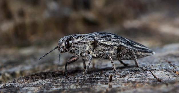 Grand bug le scolyte sur un vieux journal dans un habitat indigène