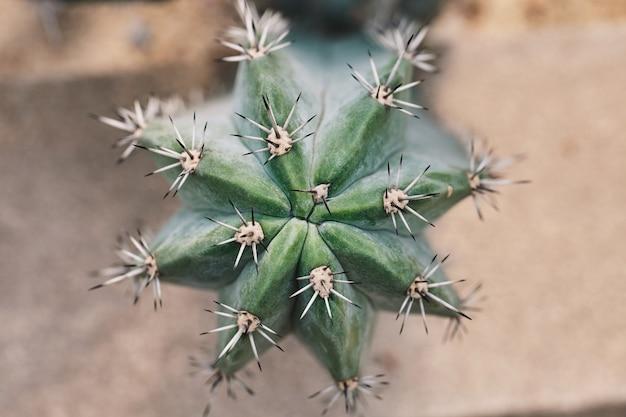 Grand cactus sanque avec longues épines, vue de dessus, gros plan