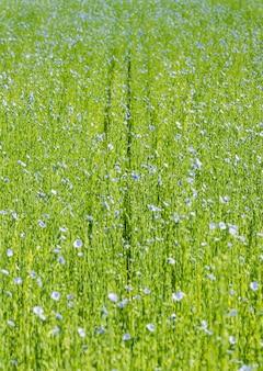 Grand champ de lin en fleur au printemps