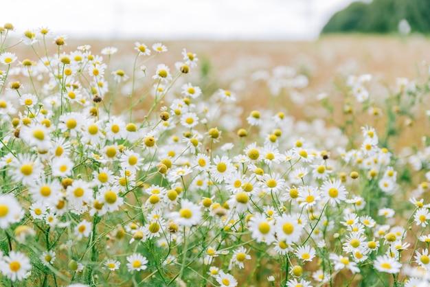 Grand champ avec des marguerites blanches en été