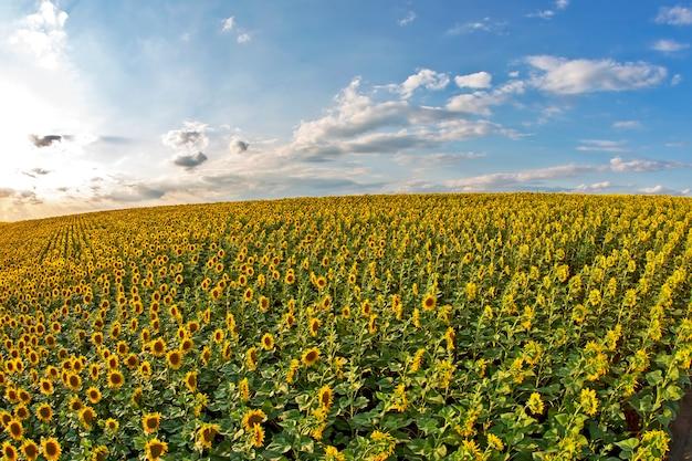 Grand champ de tournesols en fleurs au soleil. agronomie, agriculture et botanique