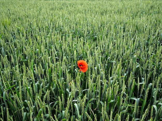 Grand champ vert d'orge non mûre. un coquelicot rouge solitaire parmi un champ d'orge vert
