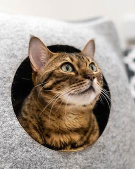 Un grand chat domestique de la race savane ou bengal dans un lit de chat.