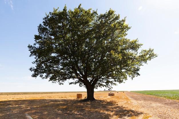 Grand chêne dans la nature