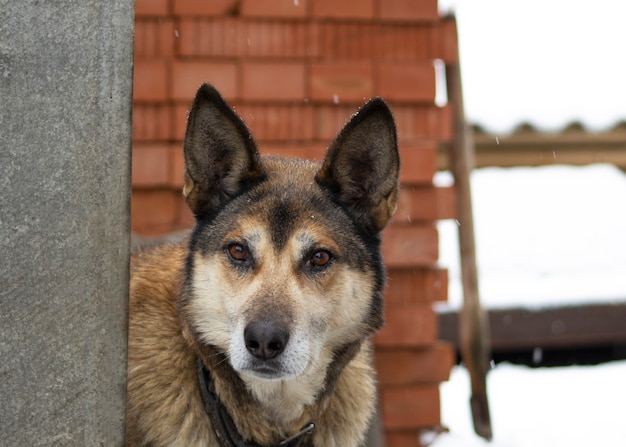 Un grand chien aux cheveux roux avec des oreilles furtivement derrière une clôture le chien peut être vu collier