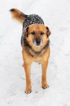 Grand chien de garde avec un regard attentif en hiver couvert de neige, portrait d'un chien