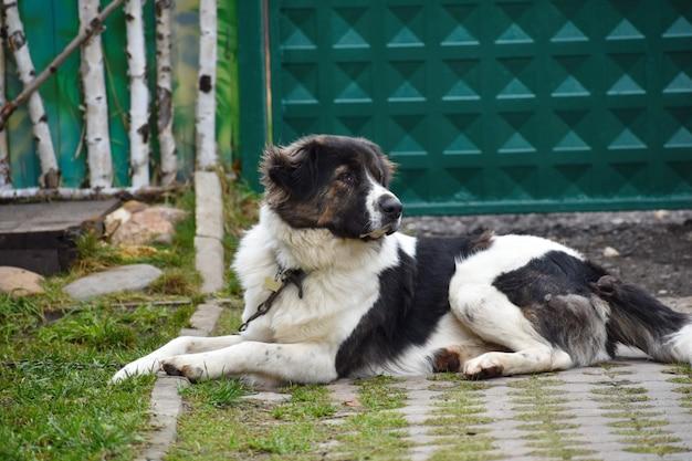 Grand chien sur la maison des gardes de chaîne. le berger de la cour vit dans une cabine.