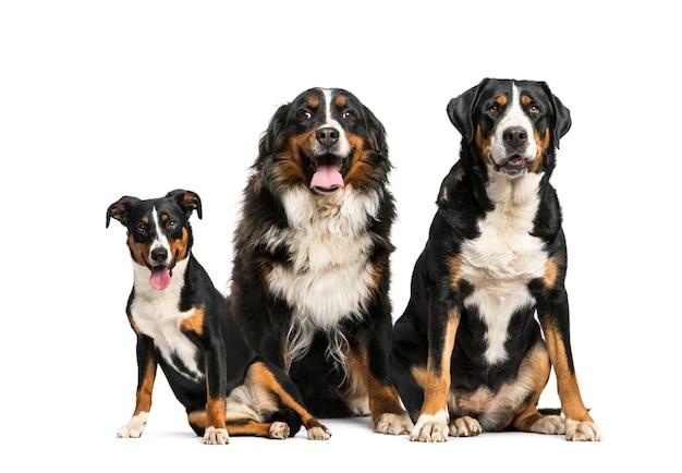 Grand chien de montagne suisse et bouvier bernois assis ensemble, isolé