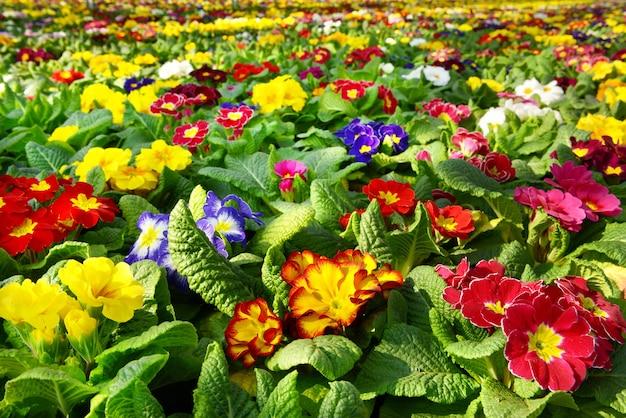 Grand choix de primevères colorées dans une variété de couleurs floraison dans une pépinière
