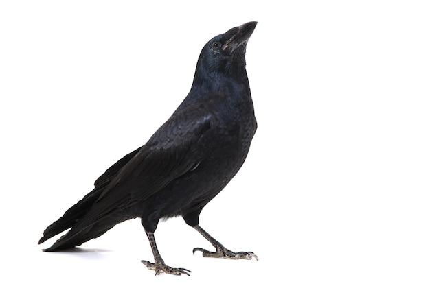 Grand corbeau corvus corax, isolé.