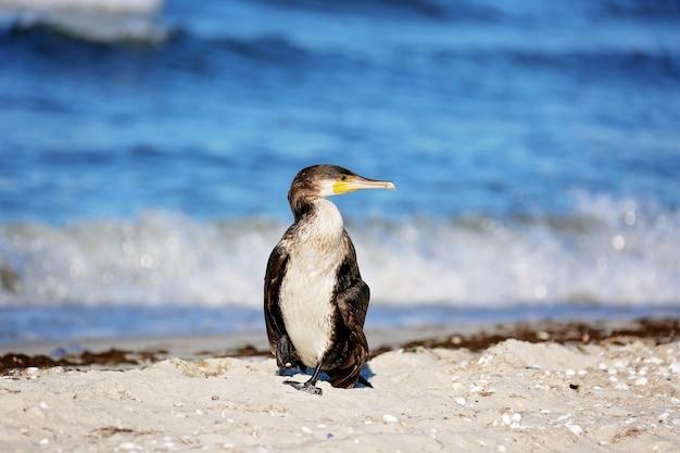 Grand cormoran noir, phalacrocorax carb, au bord de la mer.