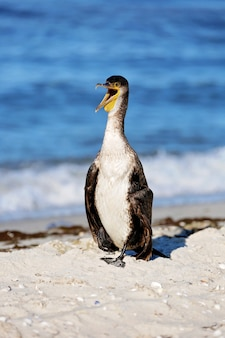Grand cormoran noir, phalacrocorax carb, plumes sèches sur une plage de la mer avec un bec ouvert. fermer.