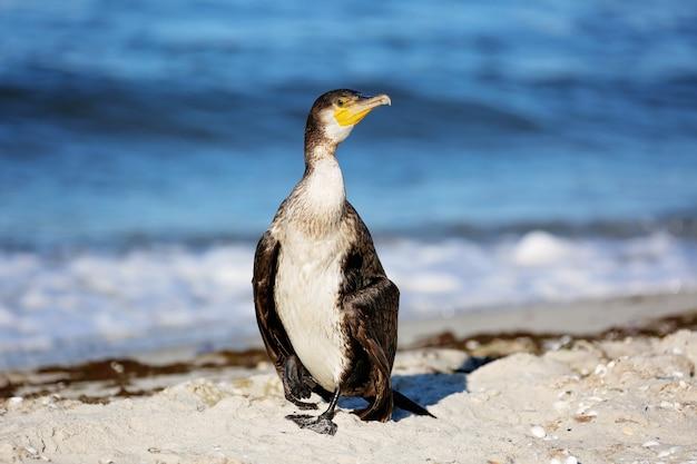 Grand cormoran noir, phalacrocorax carb, plumes sèches sur la plage de la mer. fermer.