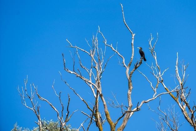 Grand cormoran (phalacrocorax carbo) perché dans un arbre dans le delta du danube
