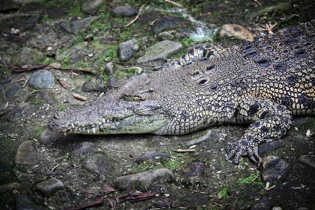 Grand Crocodile Dans Le Parc De Borneo, Malaisie Photo Premium