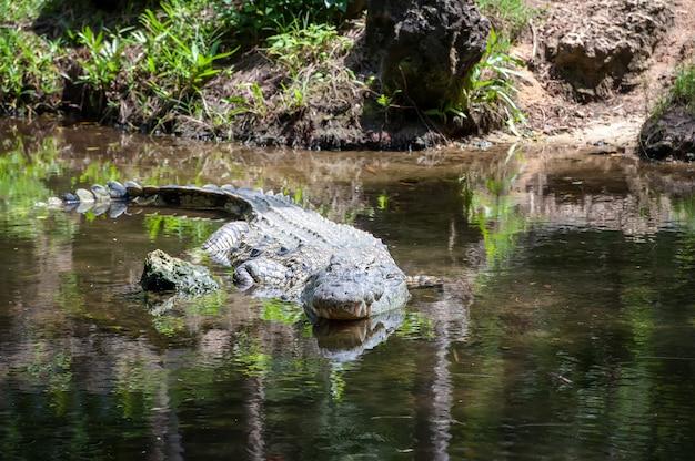 Grand crocodile dans le parc national du kenya, afrique