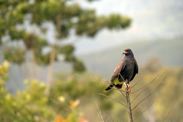 Grand épervier noir, urubitinga urubitinga ou gaviao preto, en portugais, perché au sommet de branches sèches. état de sao paulo, brésil