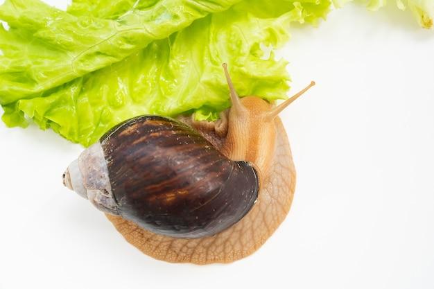 Un grand escargot mange des feuilles de laitue sur fond blanc. animaux de compagnie inhabituels. cosmétologie et médecine non conventionnelles.
