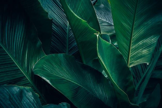 Grand feuillage de feuilles tropicales avec texture vert foncé, fond de nature abstraite.