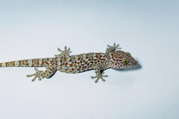 Un grand gecko perché sur un mur de ciment