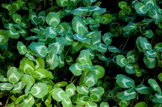 Grand groupe de feuilles de trèfle fraîchement cultivées