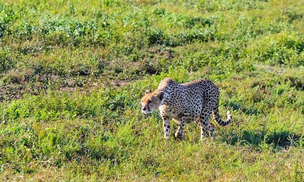 Grand guépard chassant dans la savane du serengeti. tanzanie