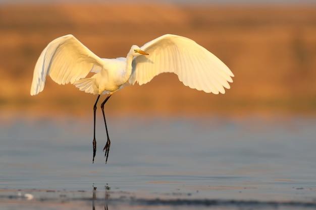 Grand héron blanc atterrissant sur l'eau tôt le matin.
