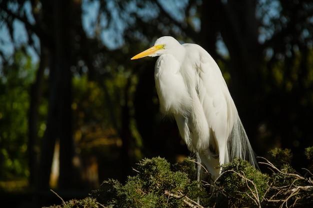 Grand héron blanc mâle, egretta alba, reposant dans son nid et affichant un plumage muptial ou de parade nuptiale.